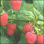 Framboise (Tulameen)