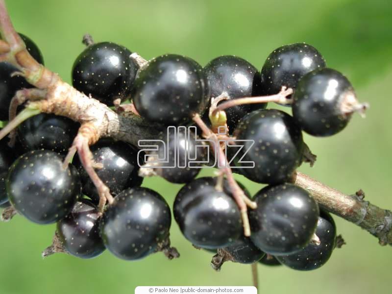 Acheter Black currant