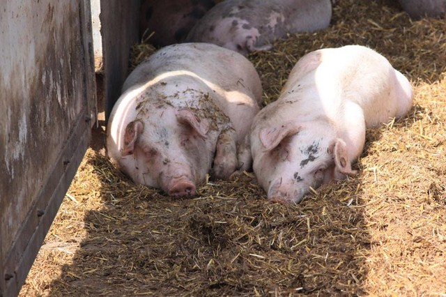Acheter Porcs