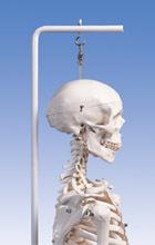 Acheter Squelette classique Stan