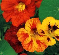Acheter Plantes annuelles
