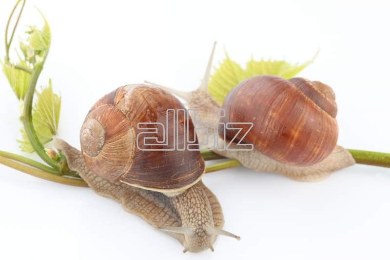 Acheter Snail extracts for pharmacopoeia