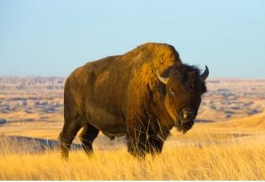 Acheter Bison meat