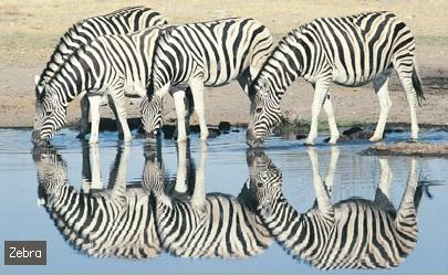 Acheter Zebra meat