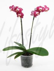 Orchidée dans un pot décoratif ou une broméliacée