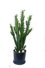 Cactus euphorbe