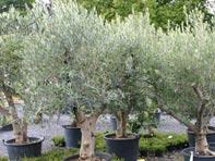 Plantes d'orangerie