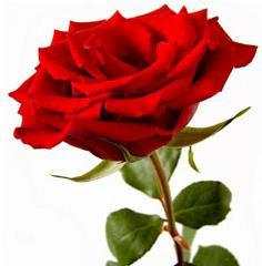 Longues roses rouges 1-10