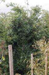Graminées et bambous