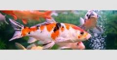 Les nourritures pour poissons