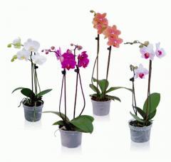 Orchidée Aveve