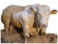 Bovine Vivants race Blanc-Bleu Belge