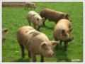 Cochons vivants